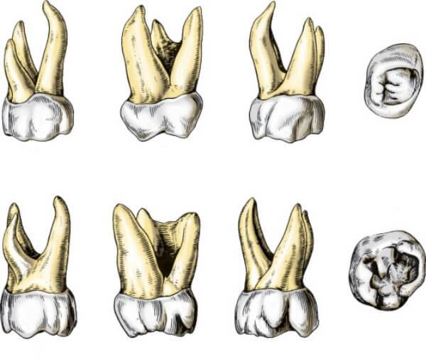 анатомические особенности больших коренных зубов