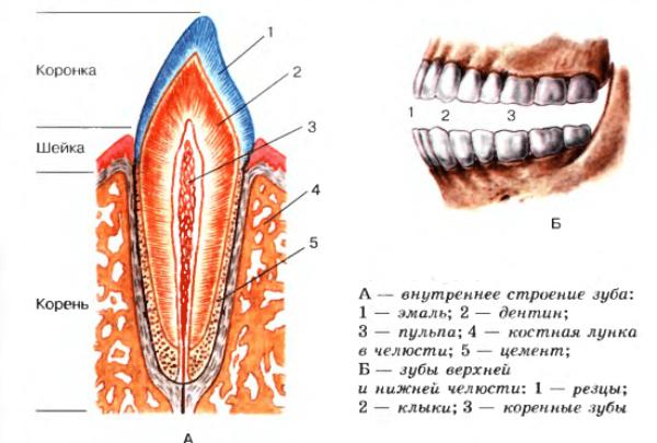 схема строения зубов человека