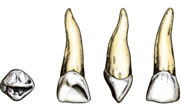 как устроены детские зубки